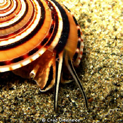 Spiral Shell searching the sand on an Anilao Night Dive. by Chad Ordelheide